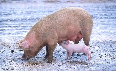 Свиня — всеїдна тварина - цікаве про тварин