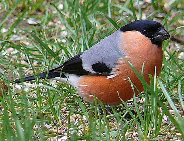Снігур — красивий птах з сильним дзьобом - цікаве про тварин
