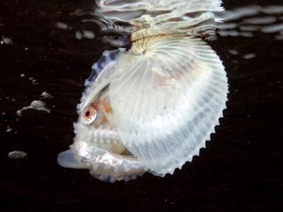 Аргонавт — живе в мушлі родич восьминога - цікаве про тварин