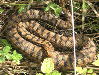 Асписовая гадюка — отруйна змія, поширена в Європі - цікаве про тварин