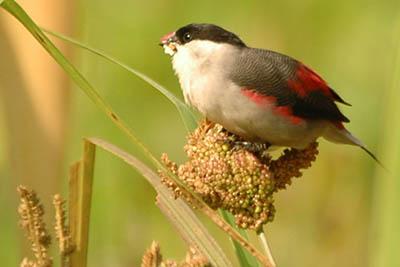 Астрільд — непоказна птах, гроза полів - цікаве про тварин