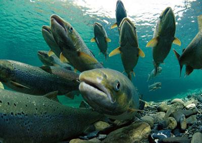Атлантичний лосось - цікаве про тварин