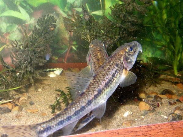 Піскар - риба, яка їсть з дна - цікаве про тварин