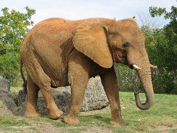 Слон — найбільша наземний ссавець - цікаве про тварин
