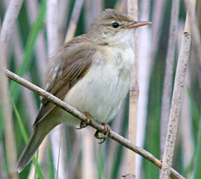 Співочі птахи - ті, кого впізнають по голосу - цікаве про тварин