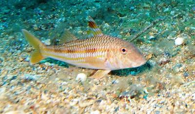 Барабулька — тропічна риба з харчовими «щупальцями» - цікаве про тварин