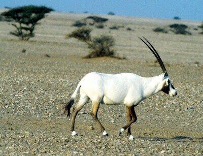 Білий орікс - цікаве про тварин