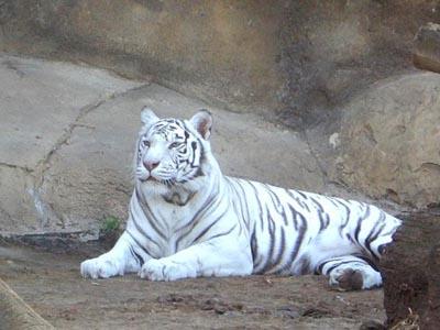 Білий тигр, але все ж смугастий - цікаве про тварин