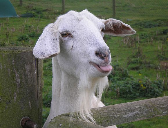 Срок беременности у козы