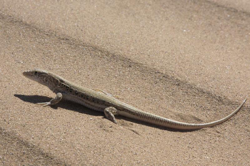 Швидка ящурка - цікаве про тварин