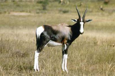 Бонтбок — невелика граціозна антилопа з стрибаючою ходою - цікаве про твари ...