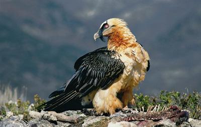 Бородань. Птах-костолом - цікаве про тварин