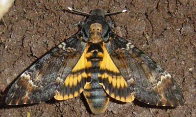 Бражник «Мертва голова» — метелик з черепом на спині - цікаве про тварин