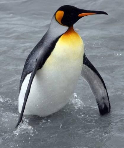 Пінгвін - плаває, але не літає - цікаве про тварин