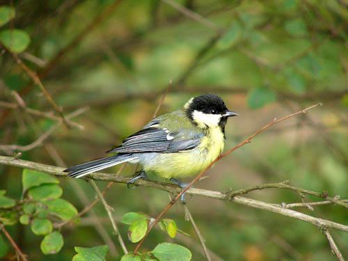 Синиця велика — лісова пташка з характерним забарвленням - цікаве про твари ...