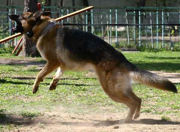 Короста у собак - цікаве про тварин