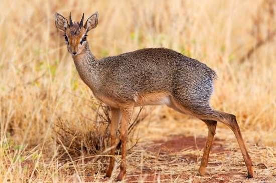 Дик-дик — маленька полохлива антилопа - цікаве про тварин