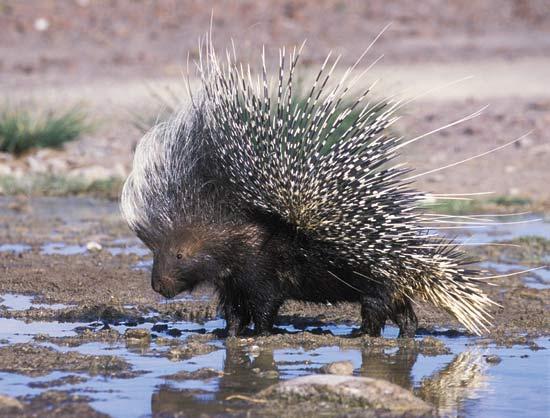 Дикобраз — завжди готовий постояти за себе цікаве про тварин