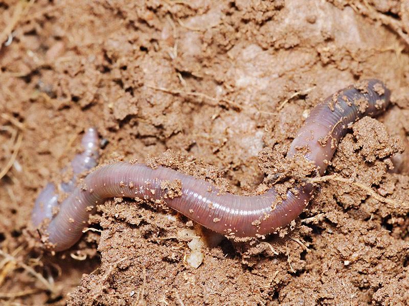 Дощовий черв'як — живий плуг - цікаве про тварин