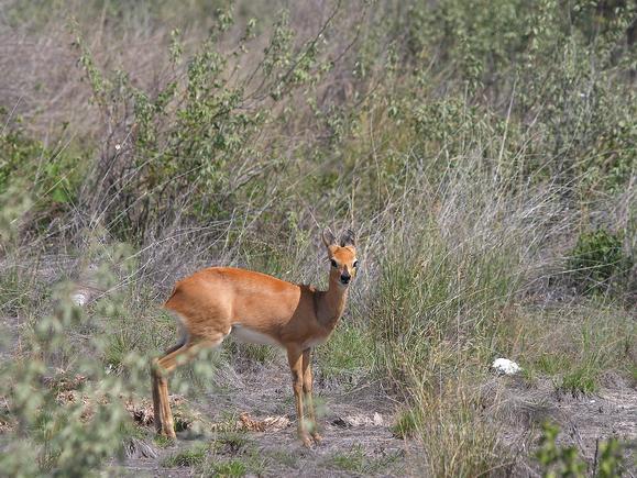 Дукер — полохлива «пірнаюча» антилопа - цікаве про тварин