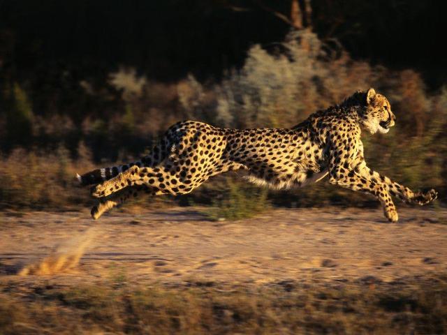 Гепард — світовий рекордсмен - цікаве про тварин