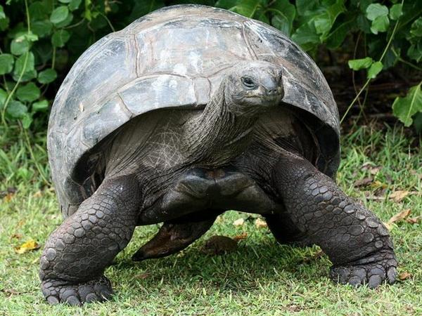 Гігантська черепаха — повільний борець за виживання - цікаве про тварин