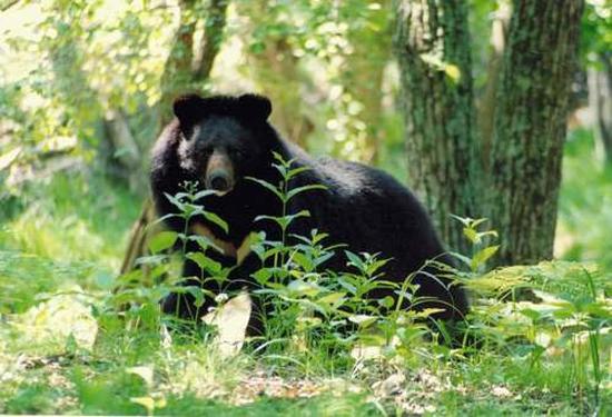 Гималайскому ведмедю потрібна ваша допомога - цікаве про тварин
