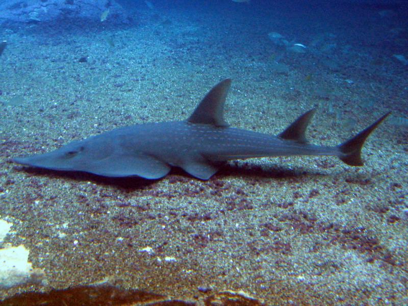 Гітарний скат — незвичайна риба з музичним ім'ям - цікаве про тварин