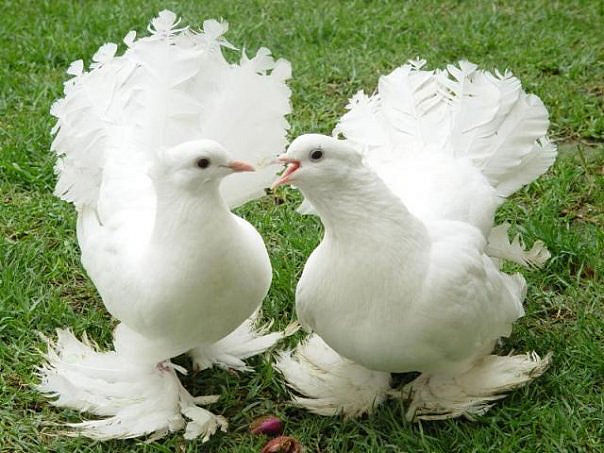 Голуб — символ миру - цікаве про тварин