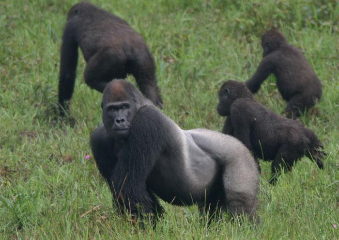 Горила — король джунглів - цікаве про тварин