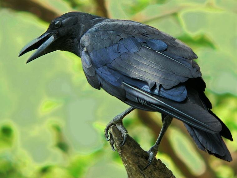 Гракл — всеїдний птах - цікаве про тварин