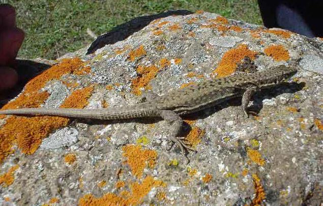 Грузинська ящірка - цікаве про тварин