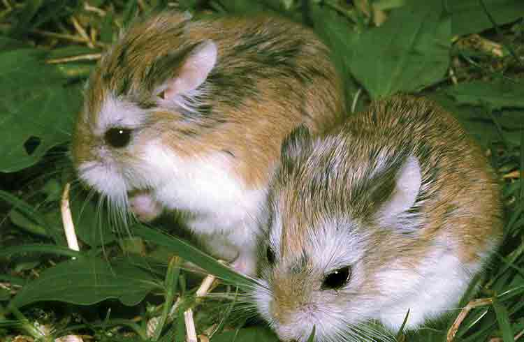 Догляд та утримання хом'ячків - цікаве про тварин