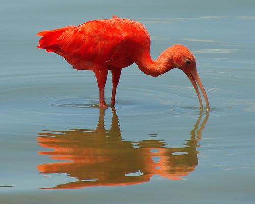Ібіс — на довгих ногах по болоту - цікаве про тварин