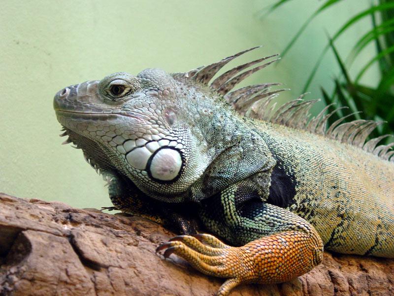Ігуана — ящірка з фамільним гребенем - цікаве про тварин