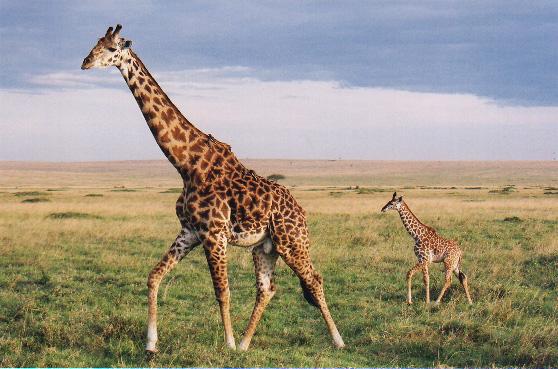 Жираф — найвищий в світі - цікаве про тварин