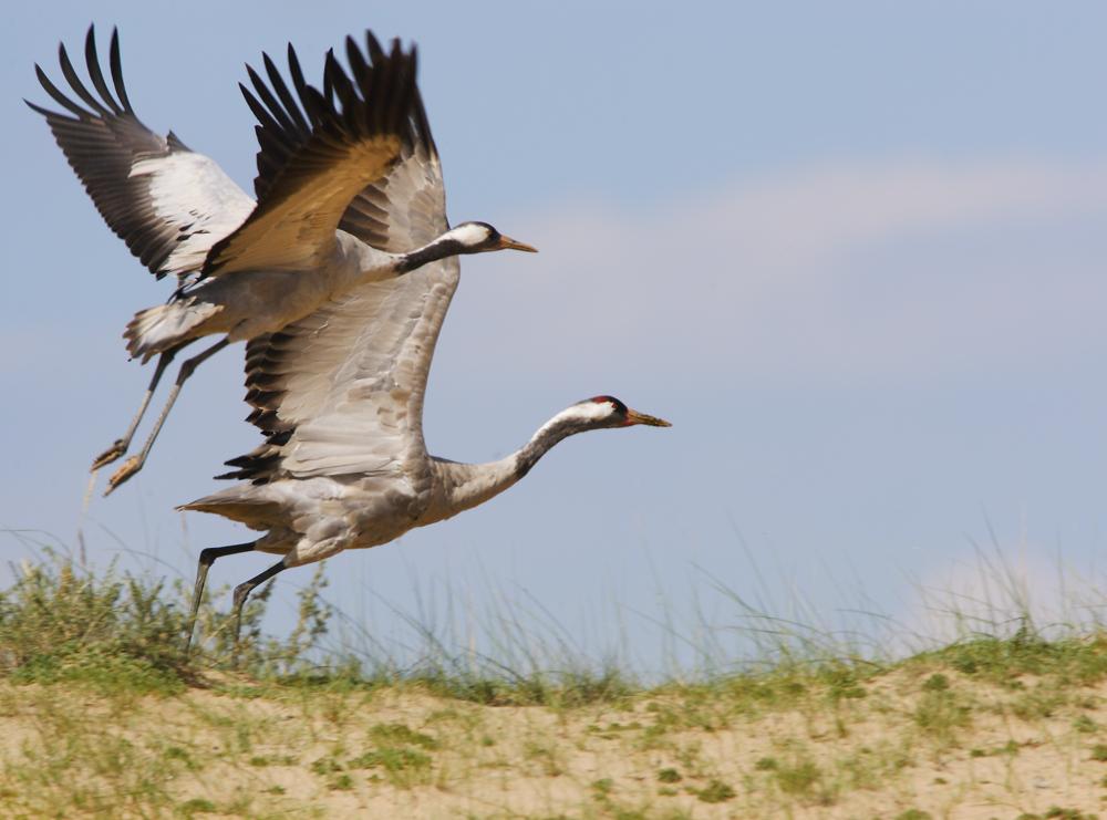 Журавель — довгоногий танцюрист - цікаве про тварин