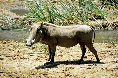 Кабан африканський - цікаве про тварин
