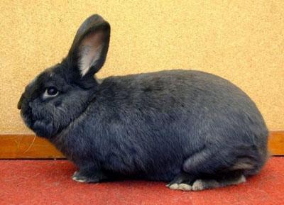 містити Як кролика будинку - цікаве про тварин