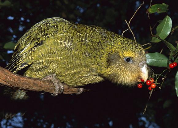 Допоможіть врятувати папугу Капопо - цікаве про тварин