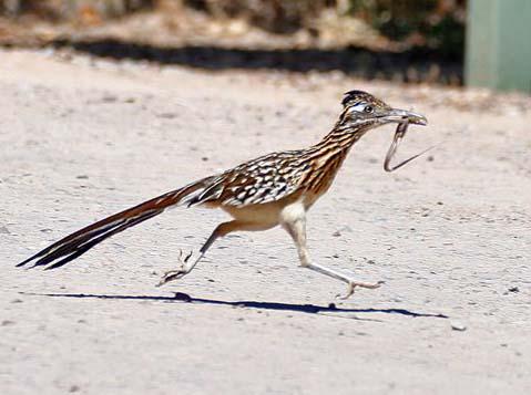 Каліфорнійська земляна зозуля — пішохід - цікаве про тварин