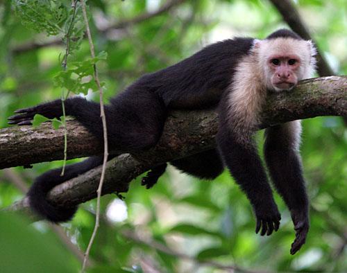 Капуцин — свистящая мавпа - цікаве про тварин