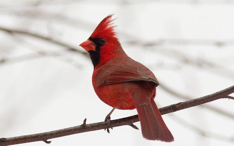 фото кардинал птица
