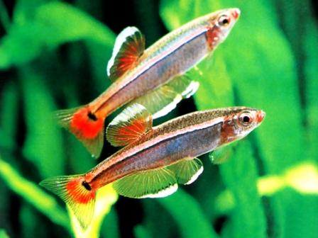 Кардинал рибка — батько з потомством у роті - цікаве про тварин