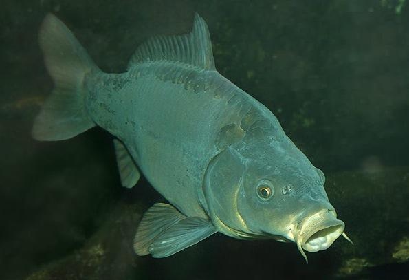 Короп — риба, яка не любить зиму - цікаве про тварин