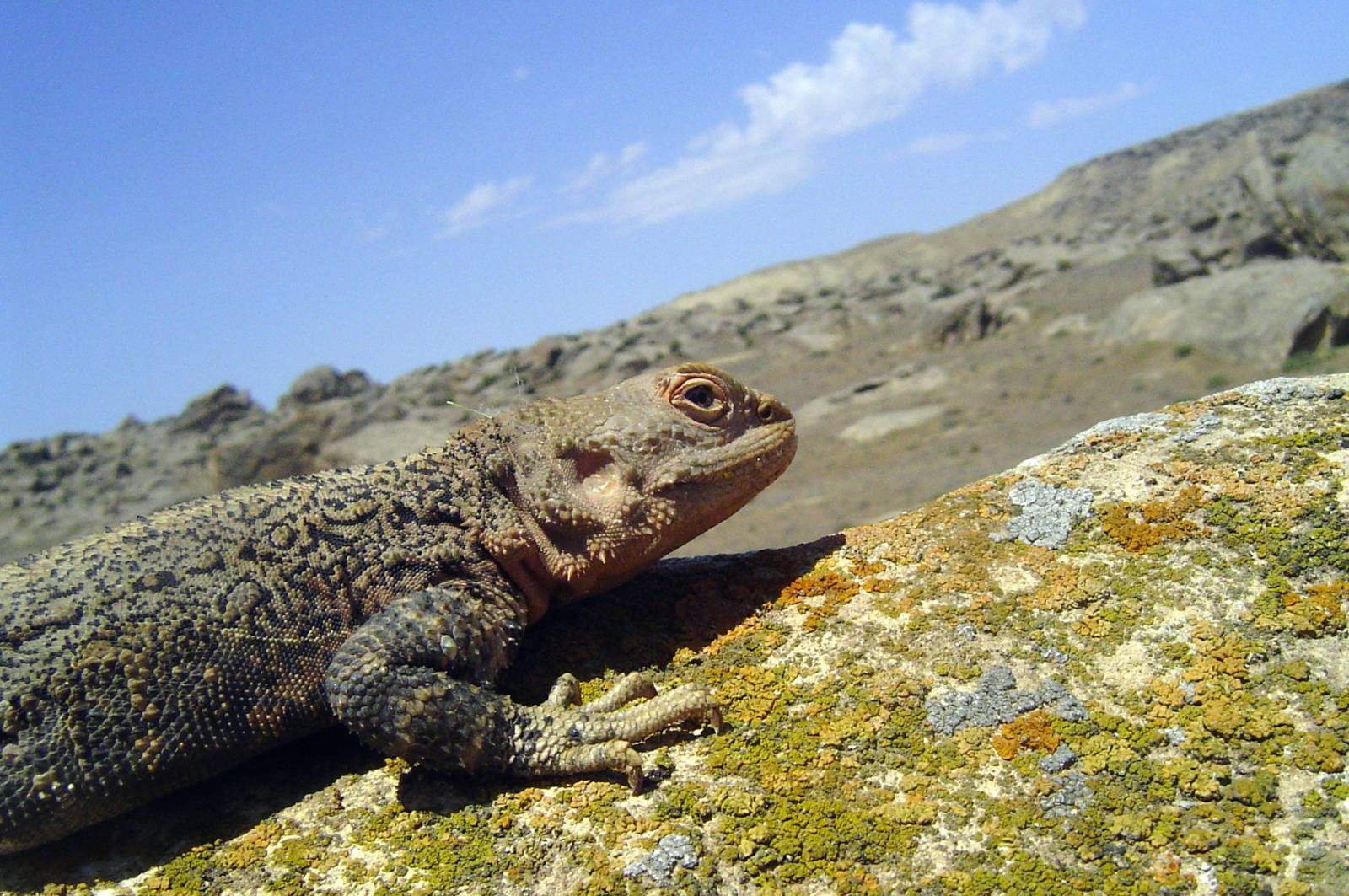 Кавказька агама - цікаве про тварин