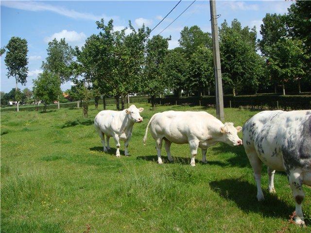 Кесарів розтин у корів - цікаве про тварин