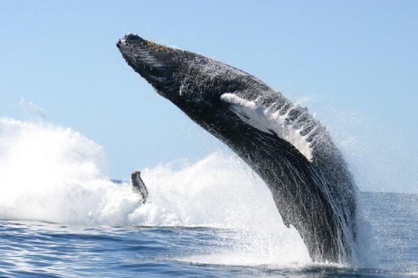 Кит — гігантське морський ссавець - цікаве про тварин