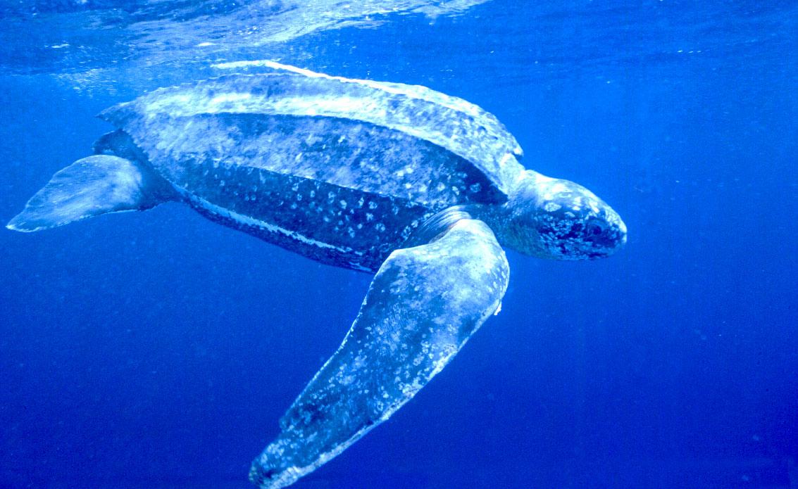 Шкіряста черепаха — найбільша - цікаве про тварин
