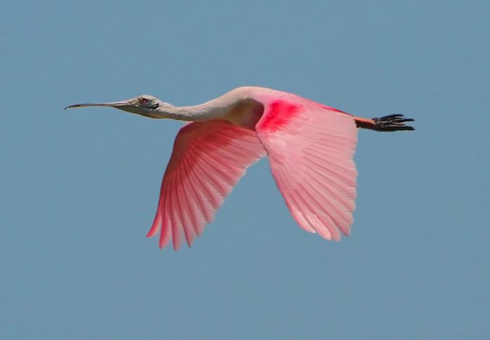 Косар — птах з ложкою замість дзьоба - цікаве про тварин